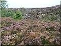 SE1007 : Purple heather at Bingley quarry by Christine Johnstone