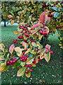 TF0820 : Fruits of a cultivar by Bob Harvey