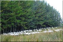NJ4459 : A Flock of Sheep by Anne Burgess