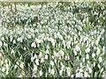 TQ1450 : Ranmore - Snowdrops by Colin Smith