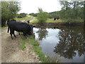 TQ4628 : Cattle drinking at Ellison's Pond by Marathon