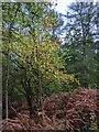 TF0820 : Autumnal Hazel by Bob Harvey