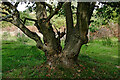 SO8074 : Old oak trunks near Devil's Spittleful in Worcestershire by Roger  Kidd