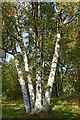 SO8074 : Silver birches in the Devil's Spittleful Nature Reserve, Worcestershire by Roger  Kidd