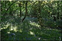 TQ6144 : Bluebells, Limekiln Wood by N Chadwick