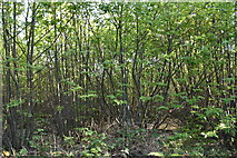 TQ6143 : Tudeley Woods by N Chadwick