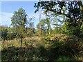 NZ1850 : New growth in Langleymoor Plantation by Robert Graham
