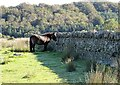 NZ1849 : Exmoor pony at Chapman's Well by Robert Graham
