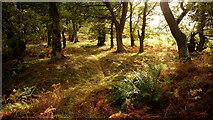 NH5857 : Bracken, ferns and oak in Drummondreach Oak Wood by Julian Paren