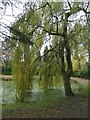 SJ9493 : Willow Tree by Gerald England