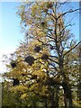 """NY6951 : Birch tree with """"witches broom"""" by Oliver Dixon"""