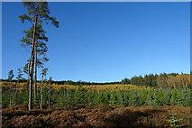 NJ4748 : Balloch Wood by Anne Burgess