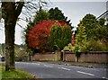H4672 : Colourful bush, Campsie, Omagh by Kenneth  Allen