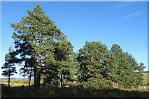NJ5145 : Scots Pines by Anne Burgess