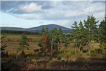 NJ5044 : Scots Pines by Anne Burgess