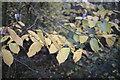 TF0820 : Autumnal Hazel leaves by Bob Harvey