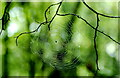 ST8084 : Spiders Web, Little Badminton, Gloucestershire 1995 by Ray Bird