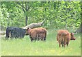 TQ0652 : Hatchlands - Dexter Cattle by Colin Smith