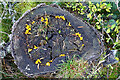 NJ4562 : Yellow Stag's Horn Fungus (Calocera viscosa) by Anne Burgess