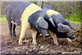 ST7585 : Wessex Saddlebacks, nr Horton, Gloucestershire 1990 by Ray Bird