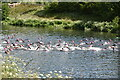 SU9081 : Openwater Swimmers, Jubilee River by N Chadwick