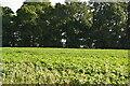 TM1537 : Field of potatoes by N Chadwick
