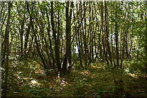 TQ4048 : Coppiced trees, Great Earls Wood by N Chadwick