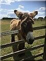 SY1689 : Poitou donkey by Marika Reinholds