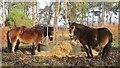 SU8935 : Gibbet Hill - Exmoor Ponies by Colin Smith