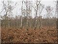 SU9586 : Bracken and leafless silver birch, winter in Egypt Woods by David Hawgood