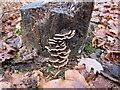 SU9586 : Bracket fungus on tree stump, Egypt Woods by David Hawgood