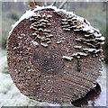 NJ3556 : Fungi on a Cut Log by Anne Burgess