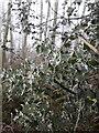 SJ7306 : Hoar frost on holly leaves by Richard Law