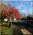 SO4107 : Reddish berries near Chepstow Road, Raglan, Monmouthshire by Jaggery