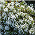 NJ3856 : Iced Sphagnum by Anne Burgess