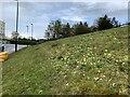SJ8544 : Cowslips on hospital wildflower meadow by Jonathan Hutchins