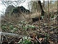 SO8891 : Himley Snowdrops by Gordon Griffiths