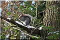 TQ8288 : Grey squirrel snacking by Poors Lane North by Trevor Harris