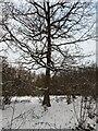 TF0820 : Oak Outlined by Bob Harvey