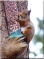 NH9818 : Red squirrel at RSPB Loch Garten by Marika Reinholds