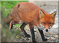 ST8180 : Fox, Acton Turville, Gloucestershire 2021 by Ray Bird