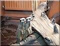 SJ6651 : Meerkats by Gerald England