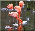 SD3335 : Caribbean flamingos by Gerald England
