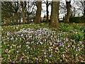 SE3130 : Hunslet cemetery - crocuses (2) by Stephen Craven