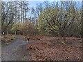 TF0820 : A grove of Hazel by Bob Harvey