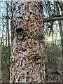TF0720 : Larch bark by Bob Harvey