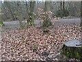 TF0720 : Beech Leaves by Bob Harvey