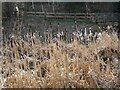 NY9363 : Bulrushes in the reedbed by Oliver Dixon