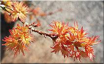 SO7119 : Acer palmatum 'Shishigashira', 2 by Jonathan Billinger