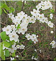 TQ1981 : Cherry plum blossom in hedge, West Acton by David Hawgood